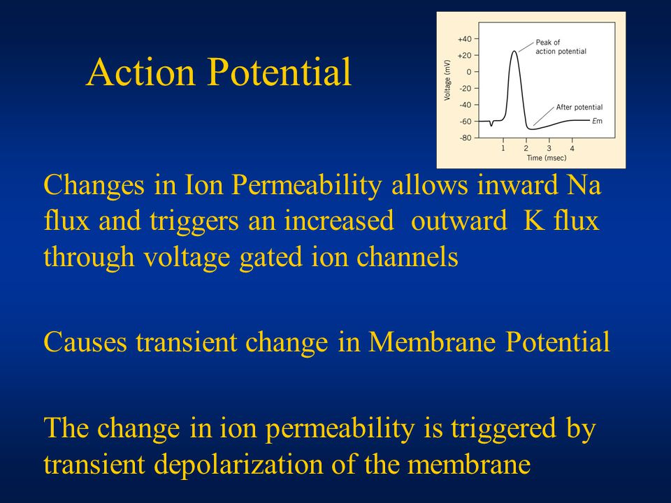 Action Potential Changes in Ion Permeability allows inward Na flux and triggers an increased outward K flux through voltage gated ion channels Causes transient change in Membrane Potential The change in ion permeability is triggered by transient depolarization of the membrane