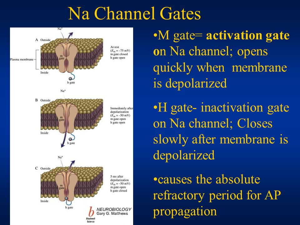 M gate= activation gate on Na channel; opens quickly when membrane is depolarized H gate- inactivation gate on Na channel; Closes slowly after membrane is depolarized causes the absolute refractory period for AP propagation Na Channel Gates