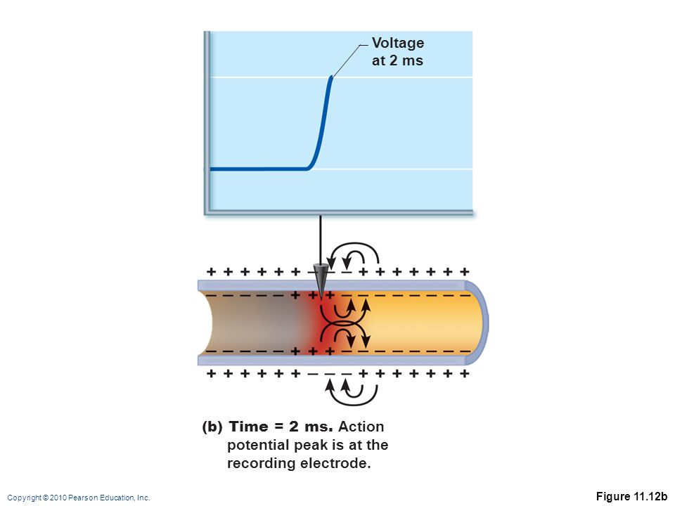 Copyright © 2010 Pearson Education, Inc. Figure 11.12b Voltage at 2 ms (b) Time = 2 ms.