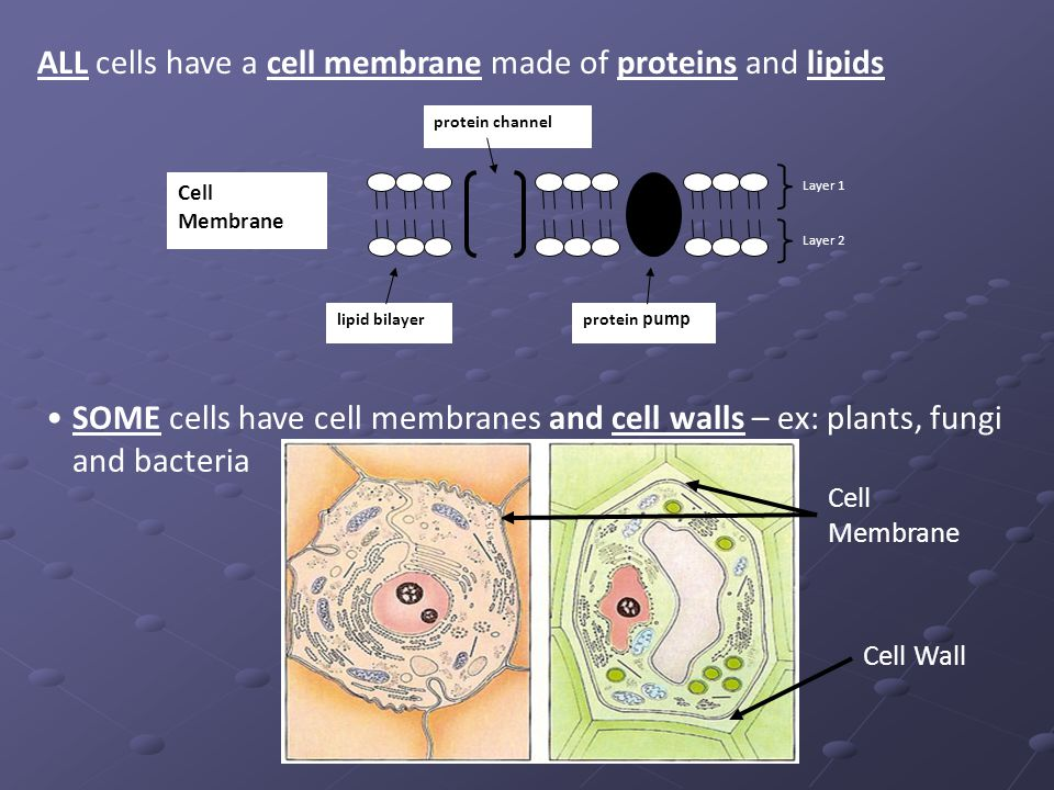 Bacterial Cytoplasm amp Cell Membrane Structure