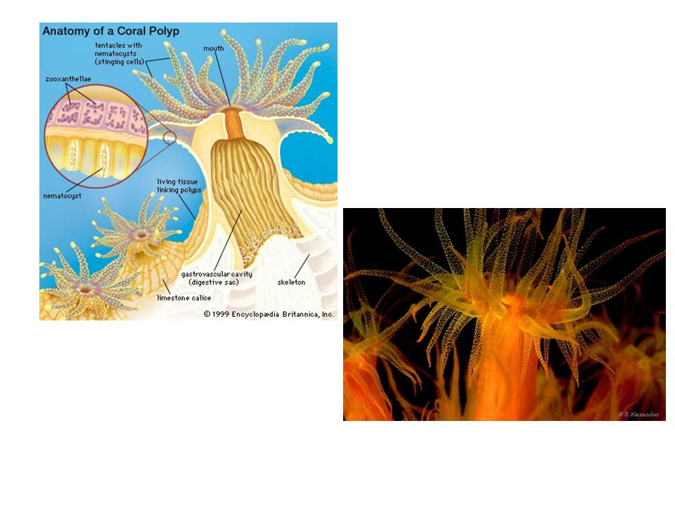 Productivity and the Coral Symbiosis II. dinoflagellates ...