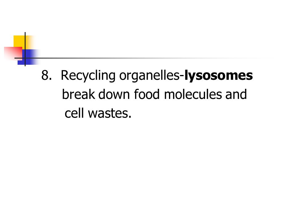 8. Recycling organelles-lysosomes break down food molecules and cell wastes.