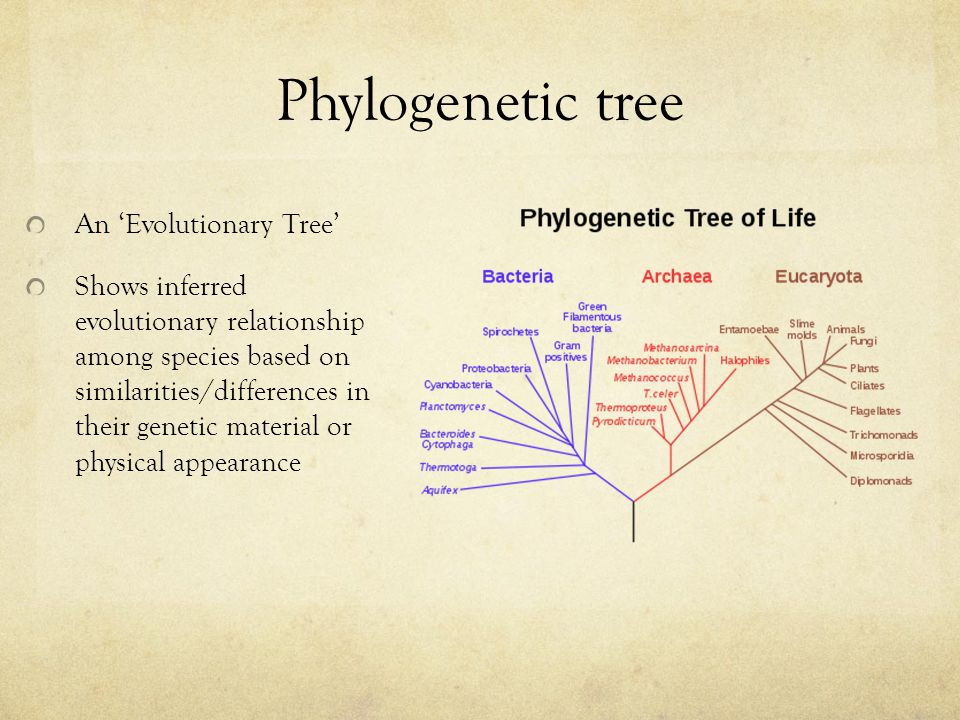 Phylogenetic tree An 'Evolutionary Tree' Shows inferred evolutionary relationship among species based on similarities/differences in their genetic material or physical appearance