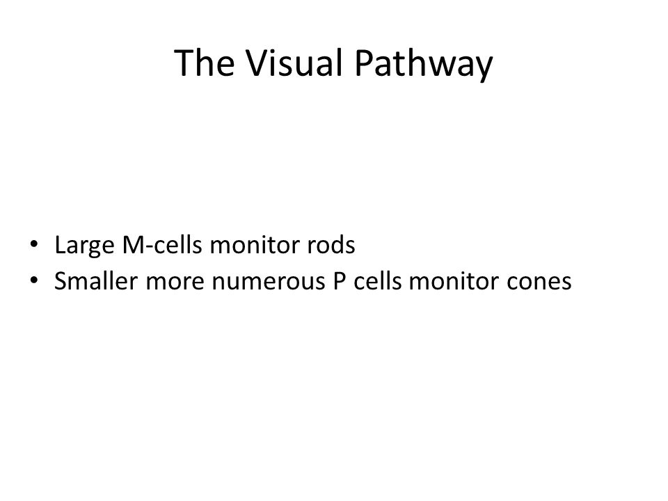 Large M-cells monitor rods Smaller more numerous P cells monitor cones The Visual Pathway