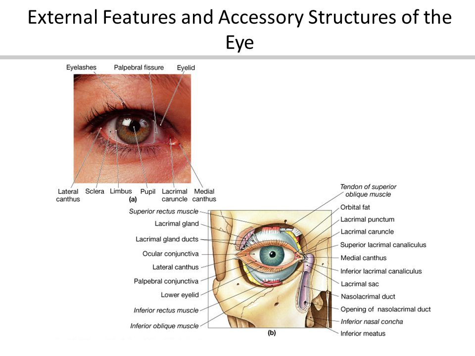 External Features and Accessory Structures of the Eye
