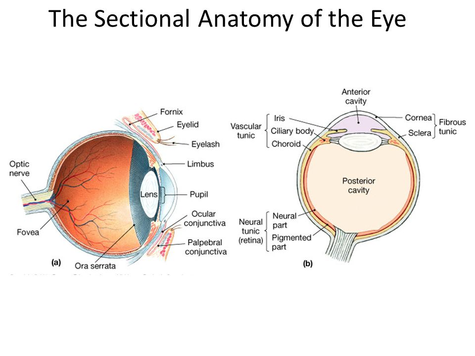 The Sectional Anatomy of the Eye