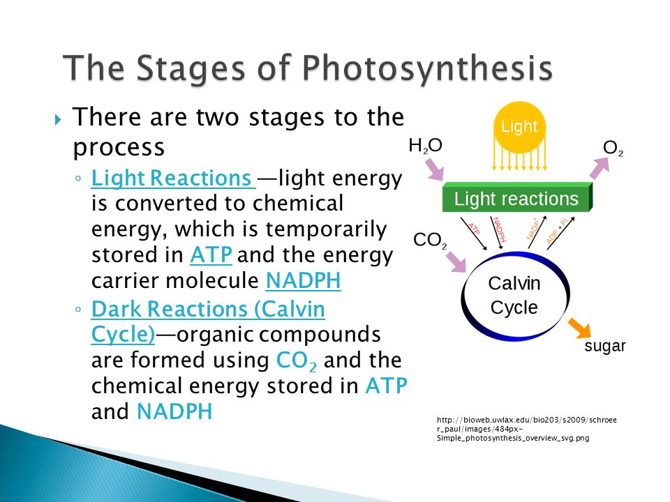  There are two stages to the process ◦ Light Reactions —light energy is converted to chemical energy, which is temporarily stored in ATP and the energy carrier molecule NADPH ◦ Dark Reactions (Calvin Cycle)—organic compounds are formed using CO 2 and the chemical energy stored in ATP and NADPH http://bioweb.uwlax.edu/bio203/s2009/schroee r_paul/images/484px- Simple_photosynthesis_overview_svg.png