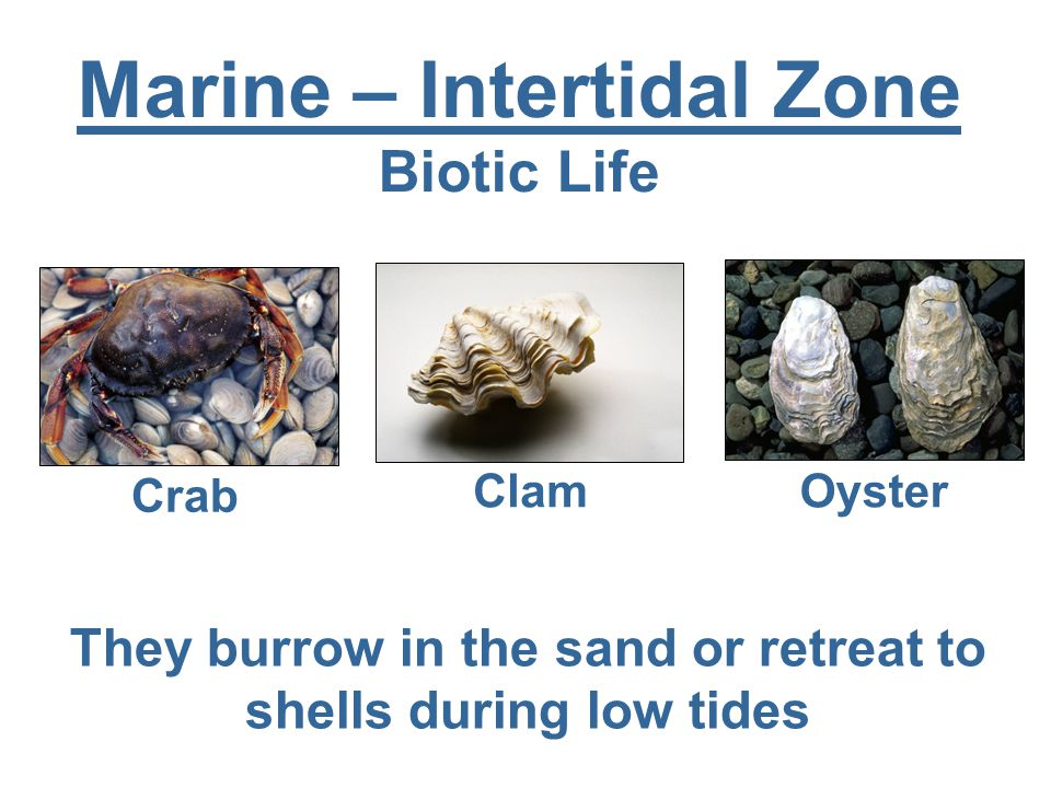 Marine – Intertidal Zone Biotic Life Crab Clam Oyster They burrow in the sand or retreat to shells during low tides