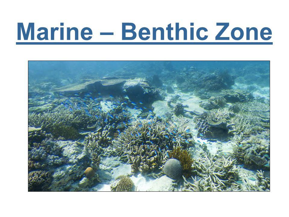 Marine – Benthic Zone