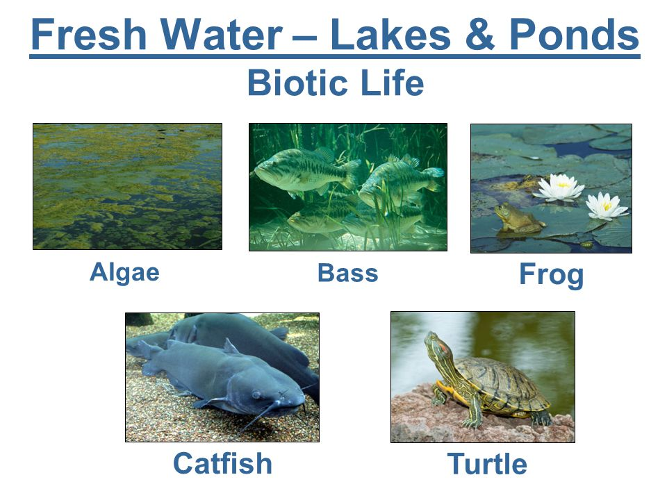 Fresh Water – Lakes & Ponds Biotic Life Algae Bass Frog Catfish Turtle