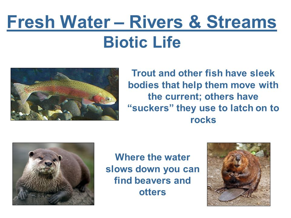 Fresh Water – Rivers & Streams Biotic Life Where the water slows down you can find beavers and otters Trout and other fish have sleek bodies that help them move with the current; others have suckers they use to latch on to rocks