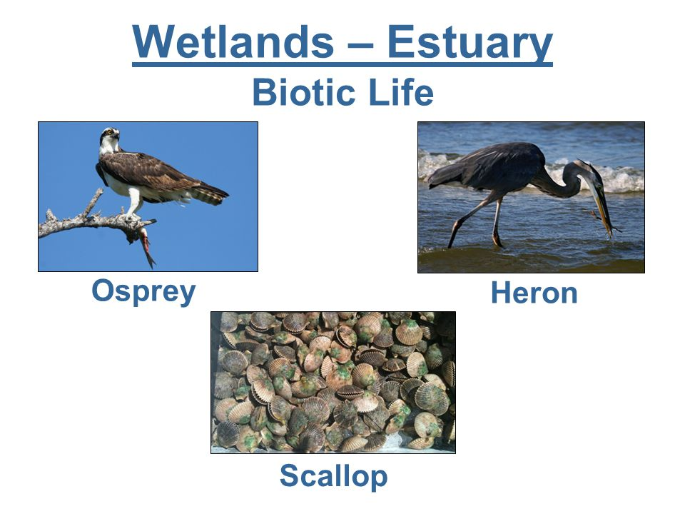 Wetlands – Estuary Biotic Life Scallop Osprey Heron