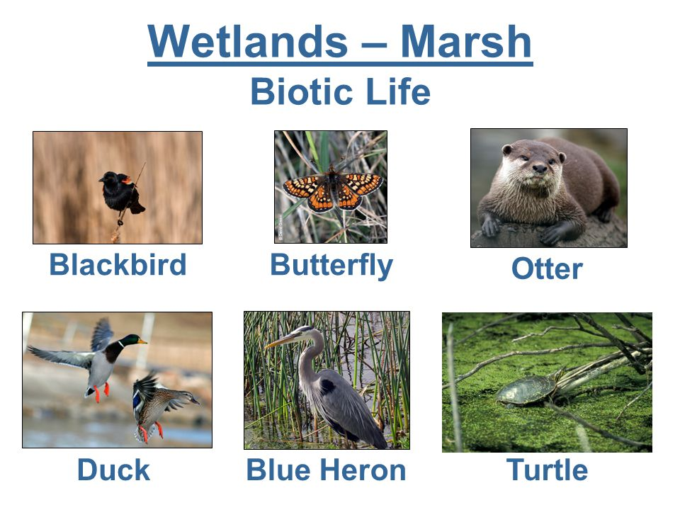 Wetlands – Marsh Biotic Life Blackbird Butterfly Otter Duck Blue Heron Turtle