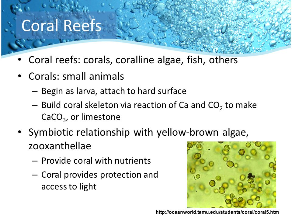 Coral reefs: corals, coralline algae, fish, others Corals: small animals – Begin as larva, attach to hard surface – Build coral skeleton via reaction of Ca and CO 2 to make CaCO 3, or limestone Symbiotic relationship with yellow-brown algae, zooxanthellae – Provide coral with nutrients – Coral provides protection and access to light Coral Reefs