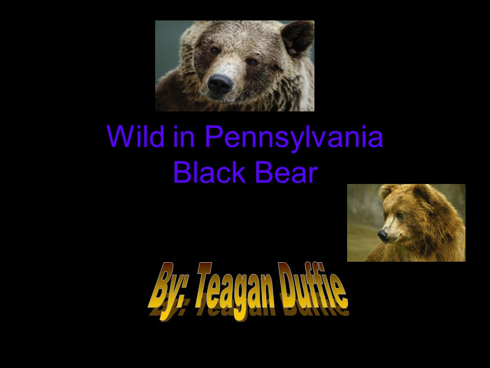 Wild in Pennsylvania Black Bear