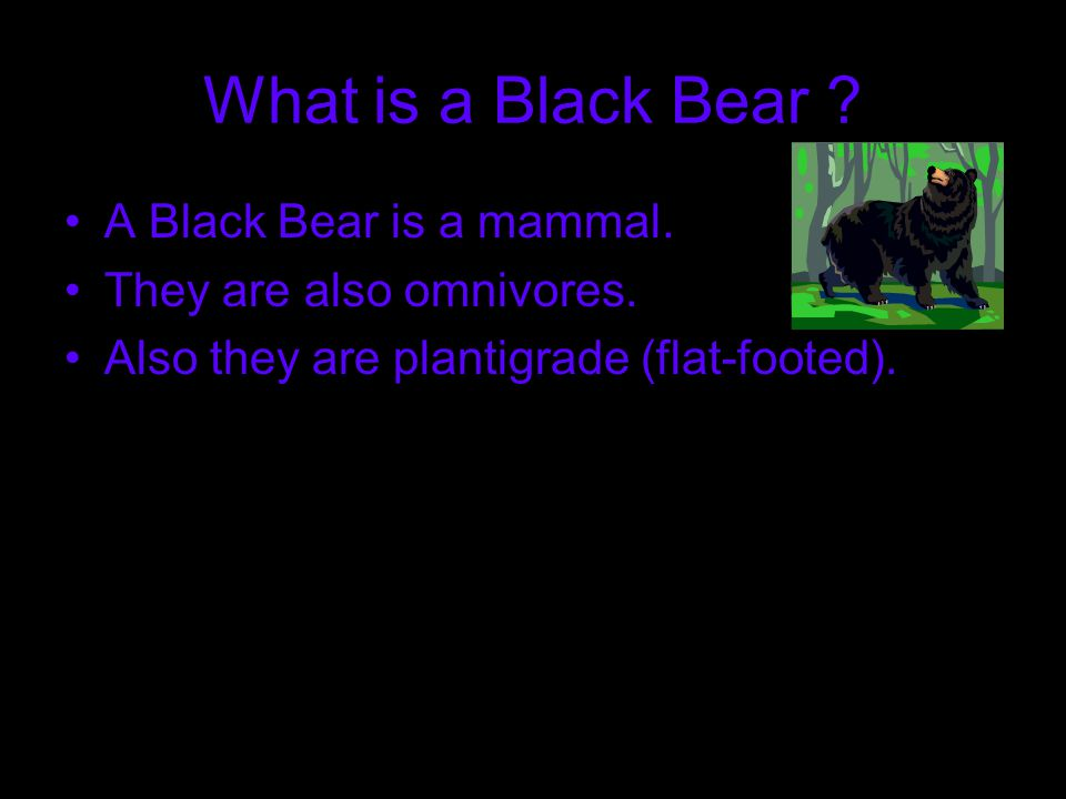 What is a Black Bear . A Black Bear is a mammal. They are also omnivores.