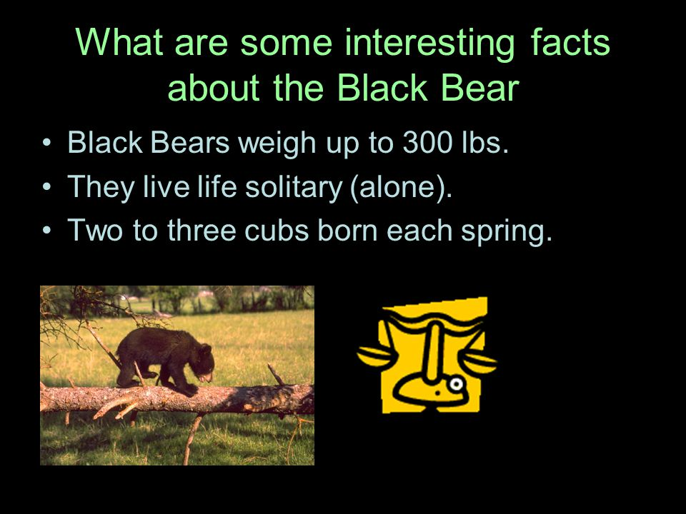 What are some interesting facts about the Black Bear Black Bears weigh up to 300 lbs.