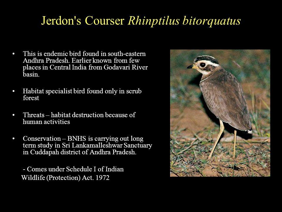 Jerdon s Courser Rhinptilus bitorquatus This is endemic bird found in south-eastern Andhra Pradesh.