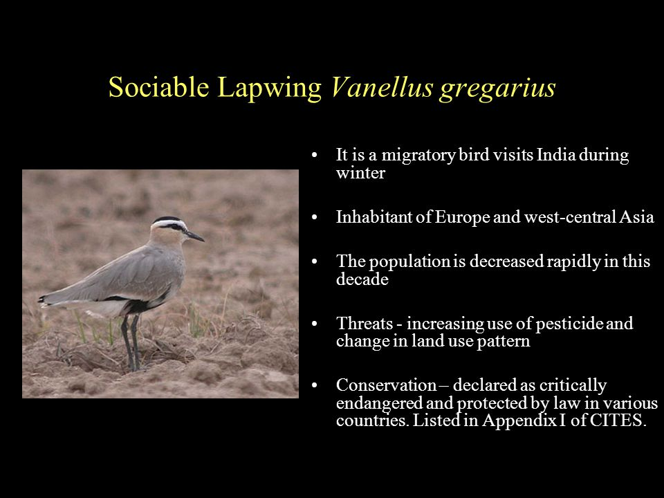 Sociable Lapwing Vanellus gregarius It is a migratory bird visits India during winter Inhabitant of Europe and west-central Asia The population is decreased rapidly in this decade Threats - increasing use of pesticide and change in land use pattern Conservation – declared as critically endangered and protected by law in various countries.