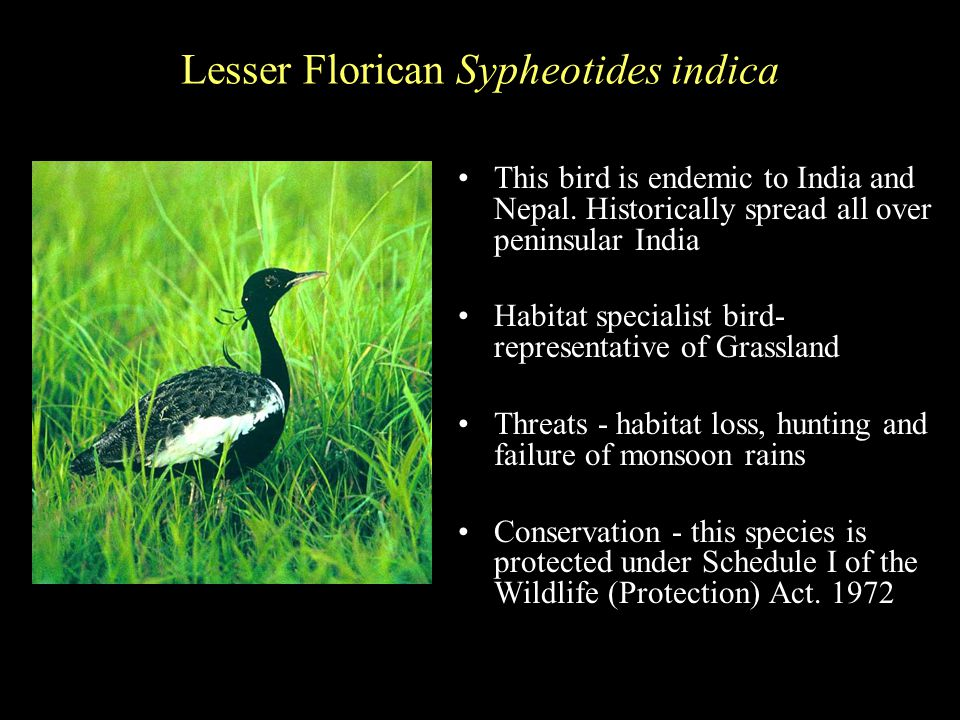 Lesser Florican Sypheotides indica This bird is endemic to India and Nepal.
