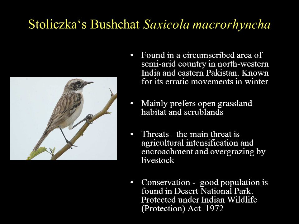 Stoliczka's Bushchat Saxicola macrorhyncha Found in a circumscribed area of semi-arid country in north-western India and eastern Pakistan.