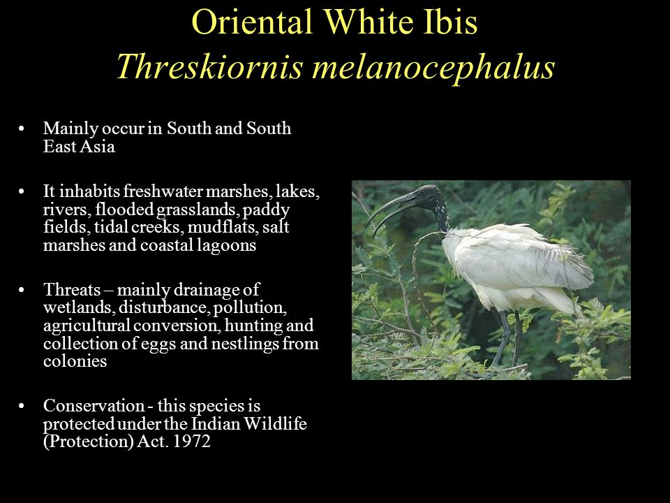 Oriental White Ibis Threskiornis melanocephalus Mainly occur in South and South East Asia It inhabits freshwater marshes, lakes, rivers, flooded grasslands, paddy fields, tidal creeks, mudflats, salt marshes and coastal lagoons Threats – mainly drainage of wetlands, disturbance, pollution, agricultural conversion, hunting and collection of eggs and nestlings from colonies Conservation - this species is protected under the Indian Wildlife (Protection) Act.