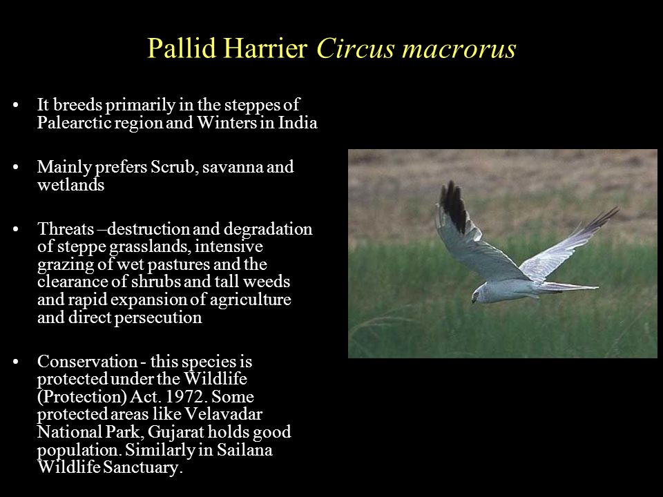 Pallid Harrier Circus macrorus It breeds primarily in the steppes of Palearctic region and Winters in India Mainly prefers Scrub, savanna and wetlands Threats –destruction and degradation of steppe grasslands, intensive grazing of wet pastures and the clearance of shrubs and tall weeds and rapid expansion of agriculture and direct persecution Conservation - this species is protected under the Wildlife (Protection) Act.