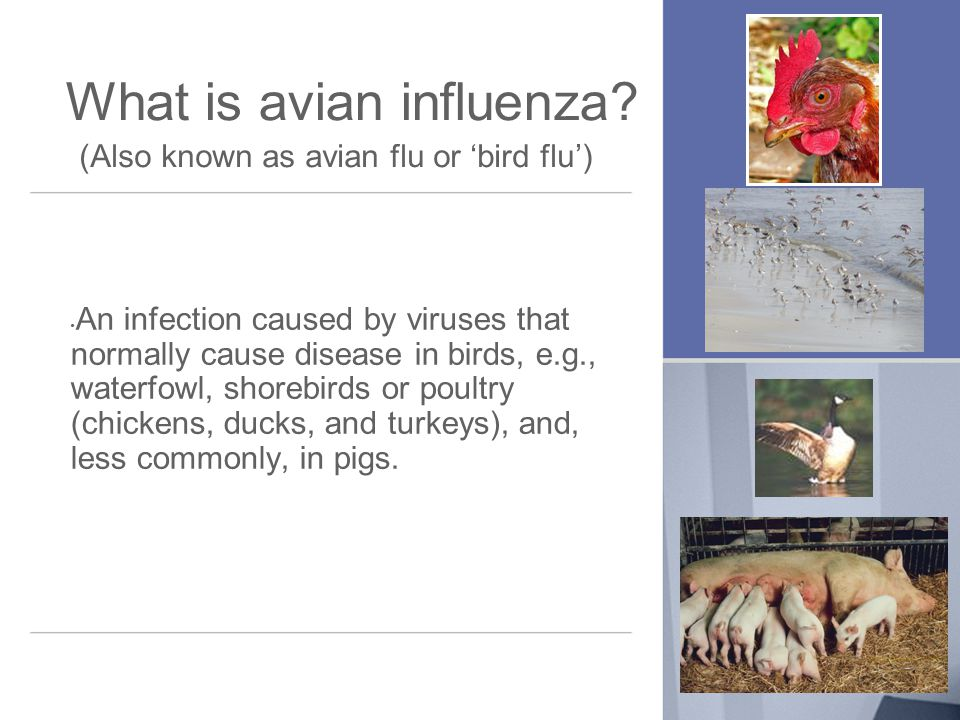 What is avian influenza.