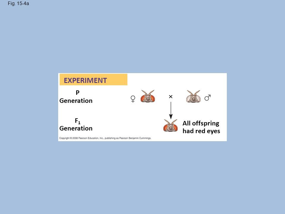Fig. 15-4a EXPERIMENT P Generation F1F1 All offspring had red eyes 