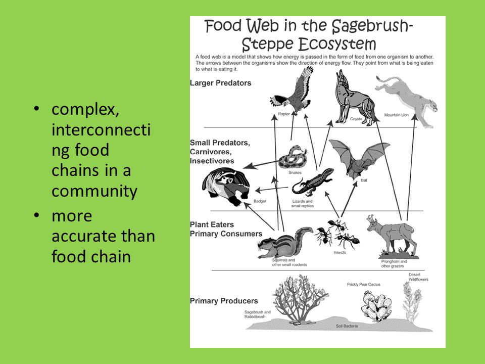 Food Web complex, interconnecti ng food chains in a community more accurate than food chain