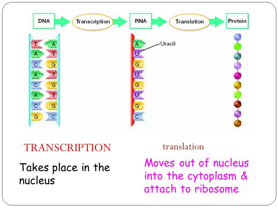 27 28 105 Fa13 Transcription And Translation Skel