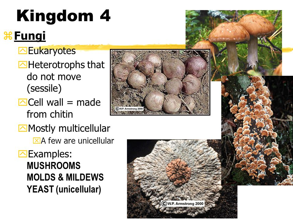 Kingdom 3 zProtista y Eukaryotes y Lacks complex organ systems y Live in moist environments y Cell wall = variety: some are polysaccharide, some silica, some DON'T have one y Mostly unicellular (some colonial = multicellular) y Heterotrophic & Autotrophic y 3 types: plant-like, animal-like, fungus-like  Examples: AMOEBA, PARAMECIUM, EUGLENA, ALGAE