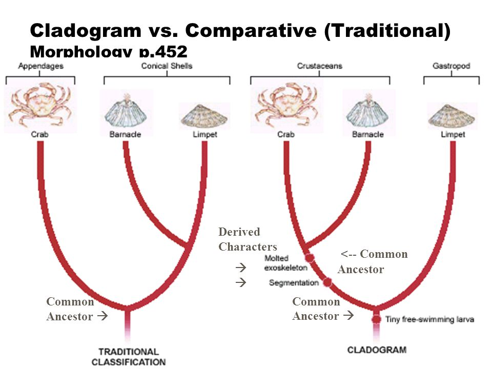Cladistics z A system of classification based on phylogeny z Uses cladograms yWhat does a cladogram tell you