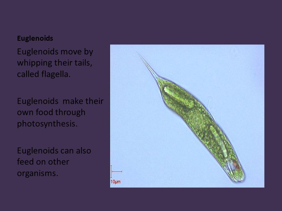 Euglenoids Euglenoids move by whipping their tails, called flagella.