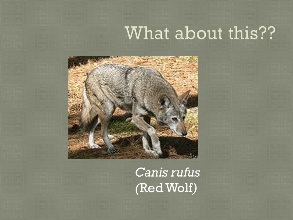 What about this Canis rufus (Red Wolf)