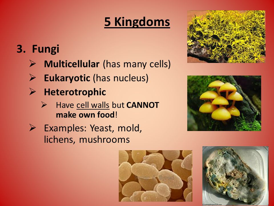5 Kingdoms 3.Fungi  Multicellular (has many cells)  Eukaryotic (has nucleus)  Heterotrophic  Have cell walls but CANNOT make own food.
