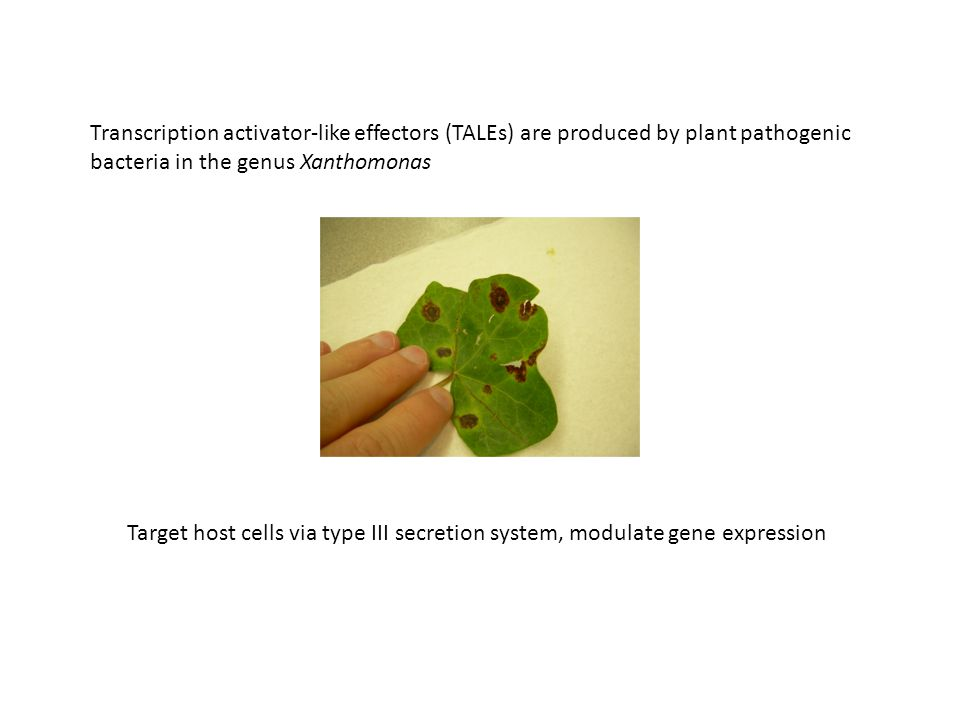 Transcription activator-like effectors (TALEs) are produced by plant pathogenic bacteria in the genus Xanthomonas Target host cells via type III secretion system, modulate gene expression