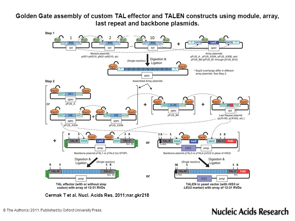 Golden Gate assembly of custom TAL effector and TALEN constructs using module, array, last repeat and backbone plasmids.
