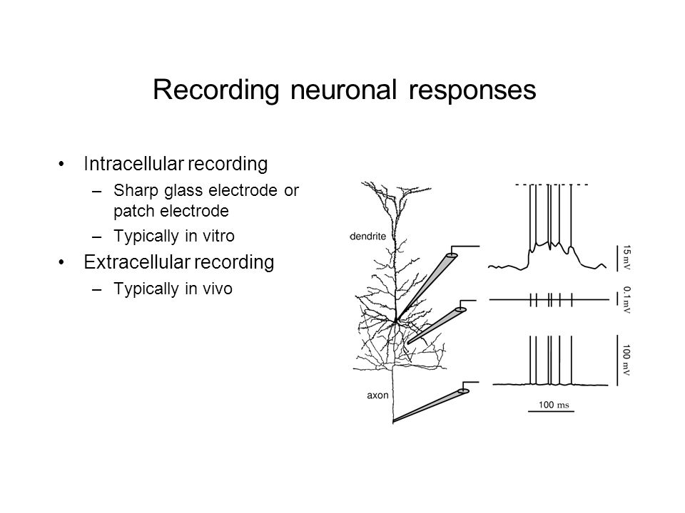 Recording neuronal responses Intracellular recording –Sharp glass electrode or patch electrode –Typically in vitro Extracellular recording –Typically in vivo
