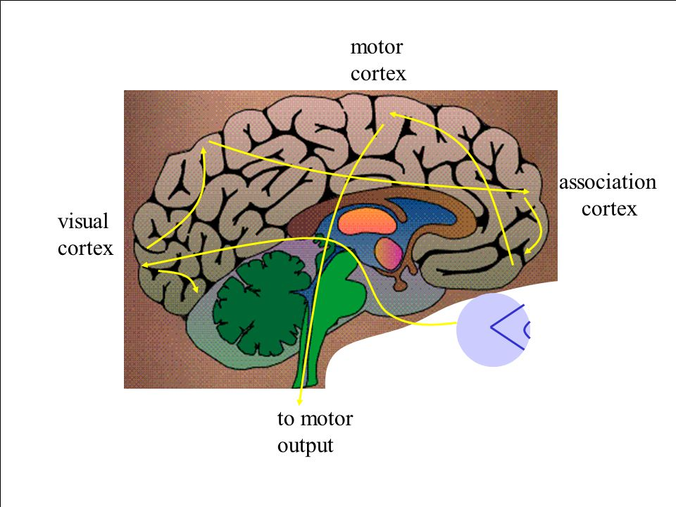 visual cortex motor cortex association cortex to motor output