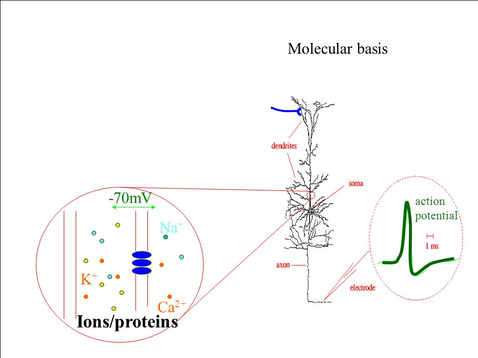 Molecular basis action potential Ca 2+ Na + K+K+ -70mV Ions/proteins