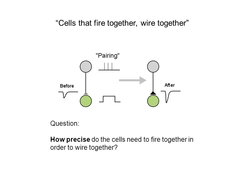Cells that fire together, wire together Question: How precise do the cells need to fire together in order to wire together