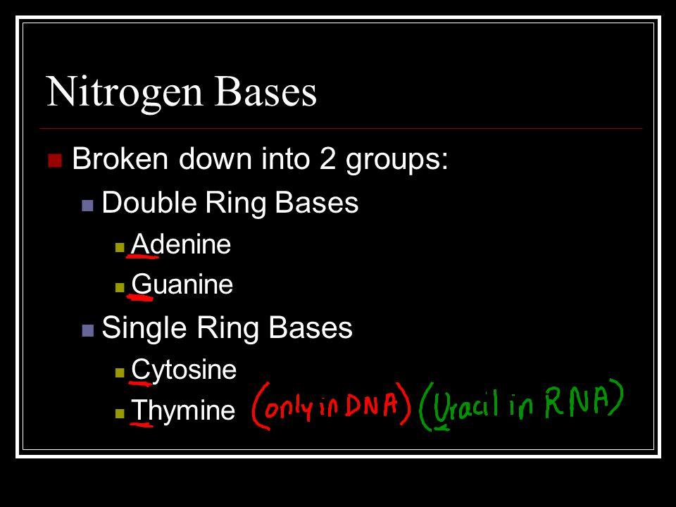 Nitrogen Bases Broken down into 2 groups: Double Ring Bases Adenine Guanine Single Ring Bases Cytosine Thymine