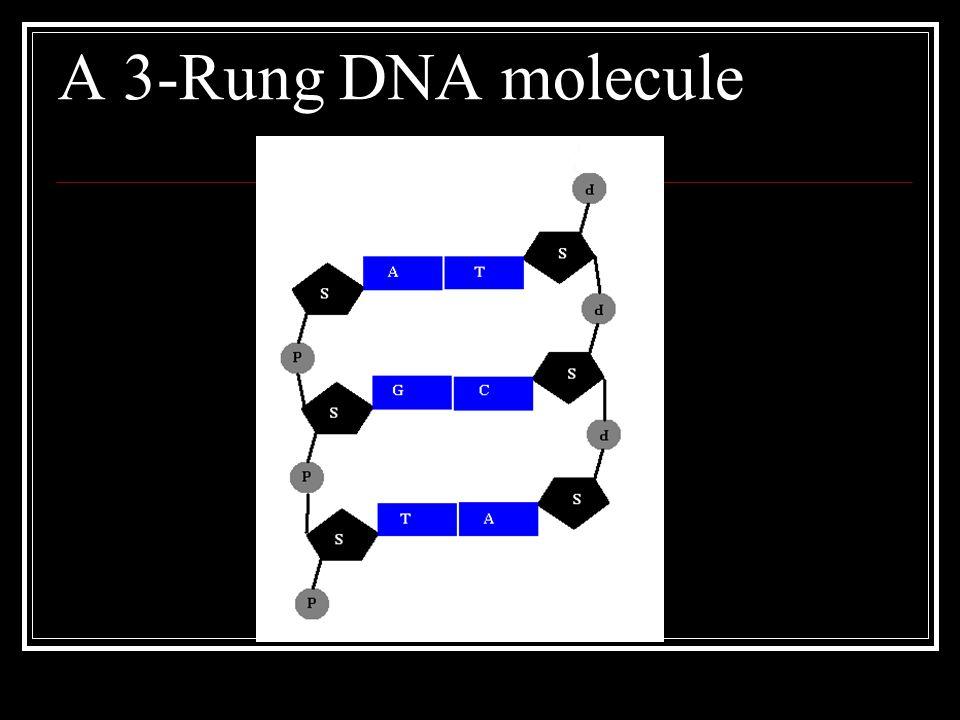 A 3-Rung DNA molecule