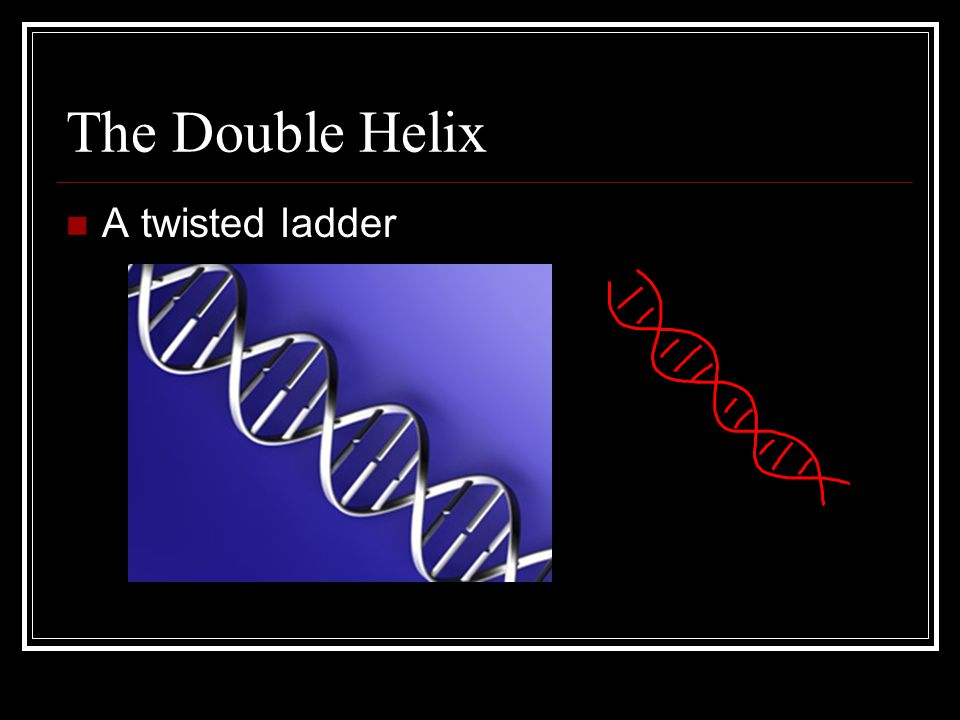 The Double Helix A twisted ladder