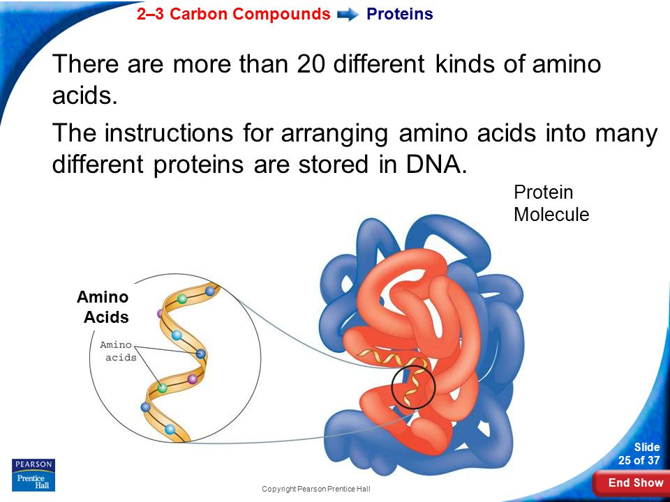 End Show 2–3 Carbon Compounds Slide 25 of 37 Copyright Pearson Prentice Hall Proteins There are more than 20 different kinds of amino acids.