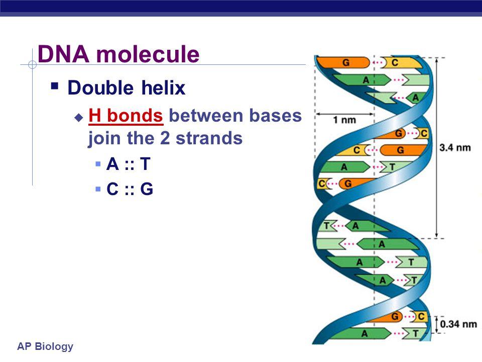 AP Biology Pairing of nucleotides  Nucleotides bond between DNA strands  H bonds  purine :: pyrimidine  A :: T  2 H bonds  G :: C  3 H bonds