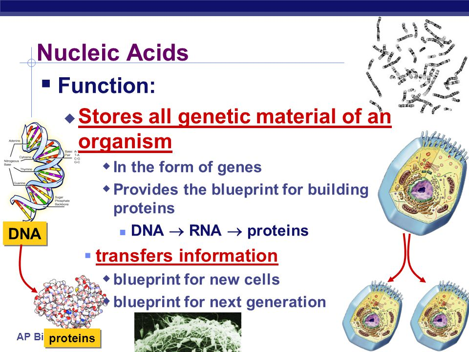 AP Biology 2006-2007 Nucleic Acids