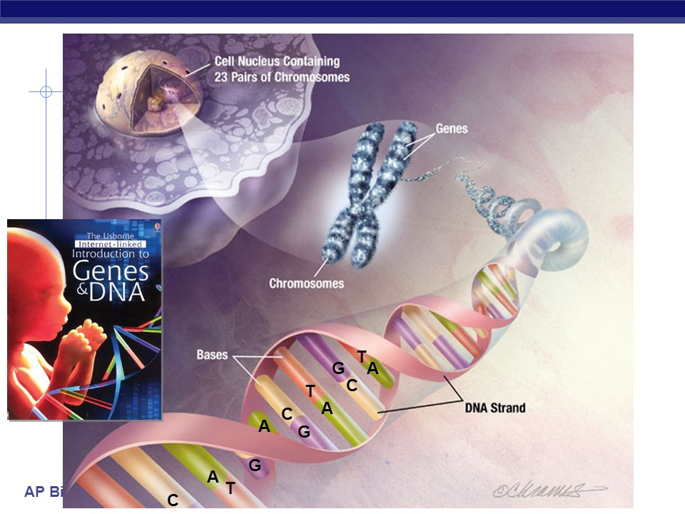 AP Biology proteins DNA Nucleic Acids  Function:  Stores all genetic material of an organism  In the form of genes  Provides the blueprint for building proteins DNA  RNA  proteins  transfers information  blueprint for new cells  blueprint for next generation