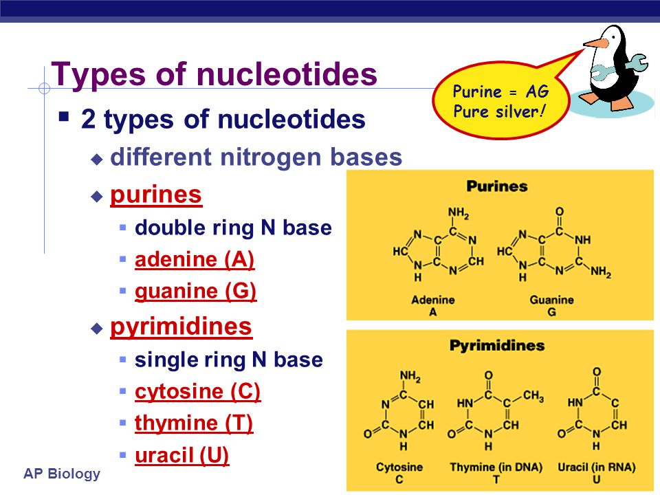 AP Biology Nucleotides  Are the monomers of nucleic acids  Has 3 parts:  nitrogen base  5 (pentose) carbon sugar  Sugar in RNA is ribose  Sugar in DNA is deoxyribose  phosphate (PO 4 ) group